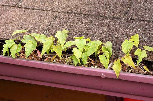 gutter with plants